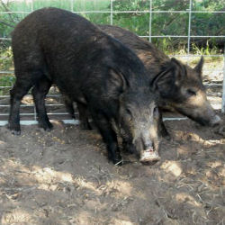 The United States Feral Hog Population Has Been Experinencing A Boom The Rising Numbers Of Wild Hogs Have Caused Headaches Across The The Usa